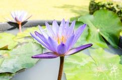 这朵美丽的荷花或莲花 免版税库存图片