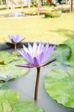 这朵美丽的荷花或莲花 免版税图库摄影