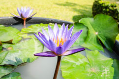 这朵美丽的荷花或莲花 库存照片