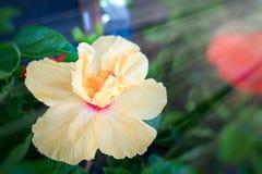 这朵美丽的黄色花可以称Chinese罗斯, Gudhal, Chaba,鞋子花 免版税库存图片