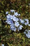 这朵花是天空的颜色 免版税库存照片