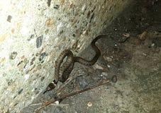 这条都市草蛇,有时称圈状的蛇或水蛇,是无毒的欧亚混血人 Natrix natrix 库存图片