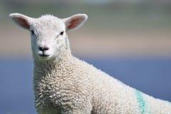 这样一只逗人喜爱的羊羔 免版税库存图片