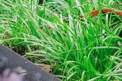 这棵新鲜的湿草给喝水并且是好和潮湿的防止受到太阳的苛刻的光芒 每片草叶giv 免版税库存照片