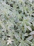 这棵植物的种类是非常穷的 免版税库存照片