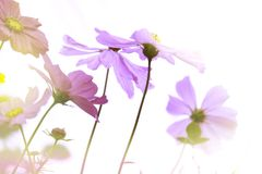 这波斯菊花和清楚的天空的五颜六色的领域冬天和假日的早晨 免版税库存图片