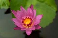 这美丽waterlily或莲花由深刻的大海表面的深颜色恭维 免版税库存照片