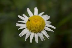 这里雏菊雏菊您是 免版税图库摄影