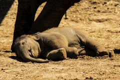 这头婴孩大象的休息时间 免版税库存照片