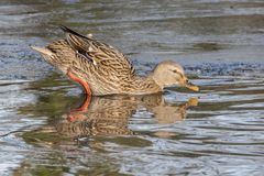 进入冰冷的水的野鸭鸭子 免版税库存图片