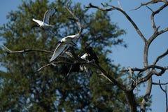 进入土地的非洲鱼鹰 免版税库存照片