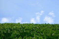 进入天空,叶子的房子的墙壁反对一朵云彩的蓝天的绿色葡萄与空间的一个空的拷贝的 免版税图库摄影