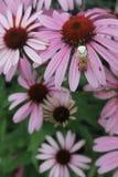 进入我的穴对蜂蜘蛛说 免版税库存图片