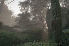 进入有太阳光束的雾森林 免版税图库摄影