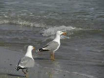 进入水的两只海鸥 免版税库存图片