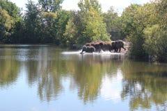 进入水的大象崽 免版税库存照片