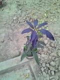 进口的紫罗兰色的芒果植物 库存照片