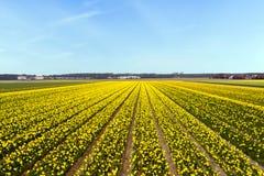 进展在荷兰的黄色花田 免版税库存照片