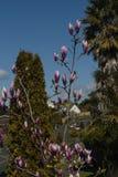 进展木兰粉红色 库存图片