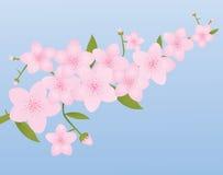 进展樱桃粉红色 库存照片