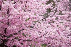 进展樱桃cv杂种p夫人粉红色 免版税库存图片