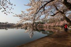 进展樱桃dc节日春天华盛顿 免版税库存图片