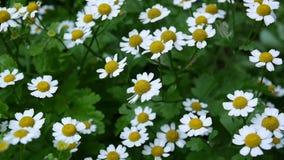 进展的共同的雏菊floweron花圃 英尺长度 影视素材