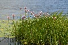 进展的开花的仓促(Butomus umbellatus L ) 关于水 库存图片