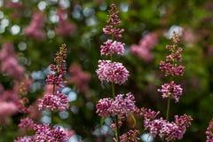 进展的束紫色丁香在自然本底的夏天 免版税库存照片