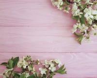 进展的樱桃生气勃勃花卉在桃红色木背景,春天分支  免版税库存照片