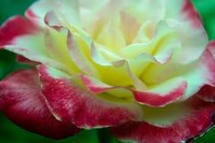 进展的特写镜头详述的花玫瑰色结构 库存图片