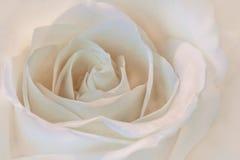 进展的特写镜头详述的花玫瑰色结构白色 免版税库存图片