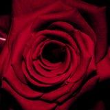 进展的特写镜头详述的花玫瑰色结构 免版税库存图片