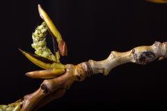 进展的白杨树分支 野生生物 唤醒春天 图库摄影
