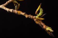 进展的白杨树分支 野生生物 唤醒春天 免版税库存图片