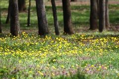 进展的蒲公英蒲公英领域 在绿色草甸的黄色蒲公英春天 美丽的黄色蒲公英开花 免版税库存照片