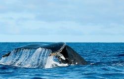 进来下来在蓝色玻利尼西亚海的驼背鲸尾巴 库存图片