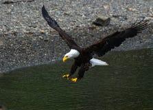 进来为着陆的一只白头鹰 免版税图库摄影