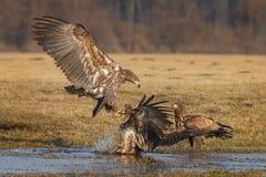 进来白被盯梢的海鹰登陆 免版税库存图片