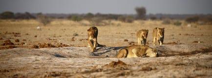 进来的狮子大自豪感喝 免版税库存图片