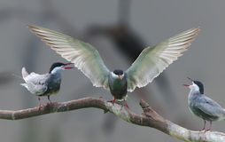 进来Whiskered的燕鸥登陆 免版税库存图片