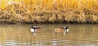 进用不同的方向的戴头巾秋沙鸭鸭子 图库摄影