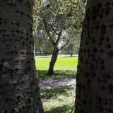 进行下去与分裂树干的另一棵树的叶茂盛树 图库摄影