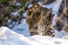 远东豹子在冬天掠食性动物是一个危险动物 库存图片