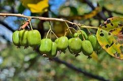 远东18的莓果 库存照片