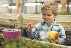 远期 健康青年时期的概念与好未来的 愉快的小男孩举行新鲜的苹果自作为未来农夫的温室 库存图片