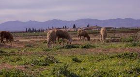远的农场和接近的绵羊 库存图片