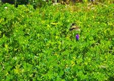 远离一朵紫色花的黄色蝴蝶飞行 库存照片