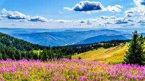 远足通过在桃红色野草野花盖的高山草甸 免版税库存照片