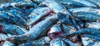 远洋鱼 捉住和为处理准备 免版税库存图片